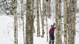 Sugaring, maple syrup